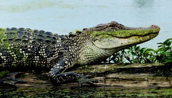 En Florida, Estados Unidos, un caimán atacó a mujer que paseaba con su perro cerca de lago. (Foto: Referencial / Pixabay)