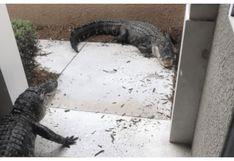 Casi mueren del susto: ancianos abren la puerta de su casa y se topan con una salvaje pelea de enormes cocodrilos