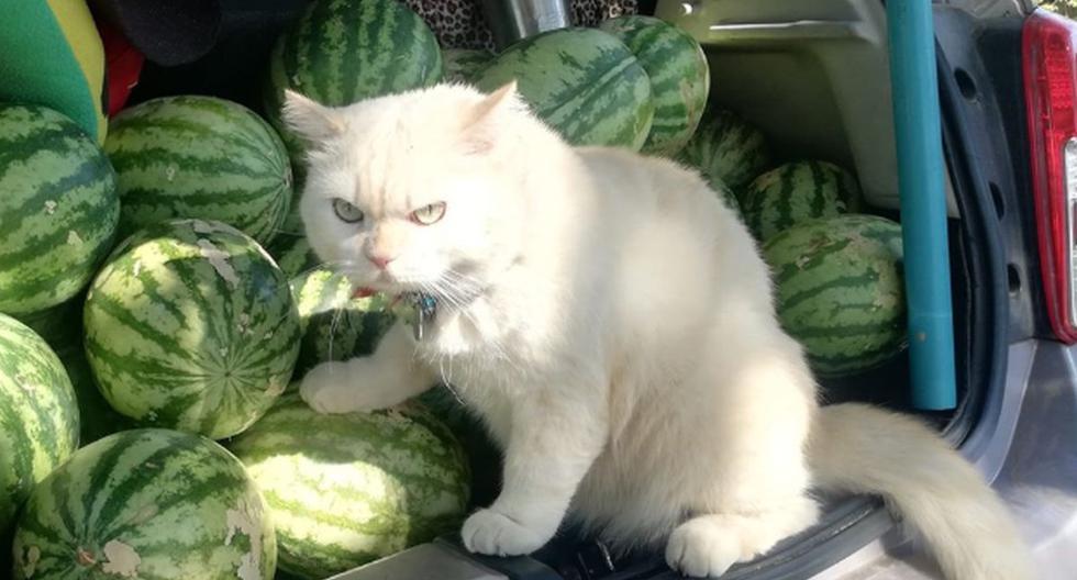 El gato ha dejado boquiabiertos a todos al 'supervisar' un negocio de sandías. (Facebook: นายไข่มุก ครับ)