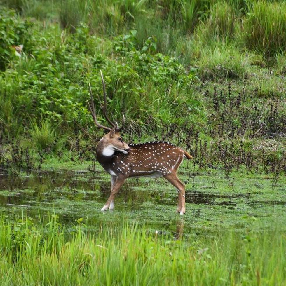 Encuentra al depredador en la fotografía del ciervo que trae locos a todos. (Servicios Forestales de la India)