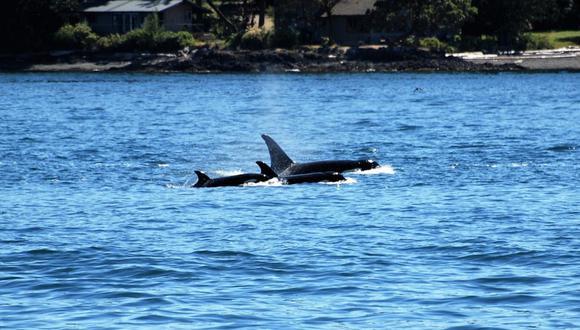 Grupo de orcas embiste un velero: impactante escena se vuelve viral. (Foto: Referencial / Pixabay)