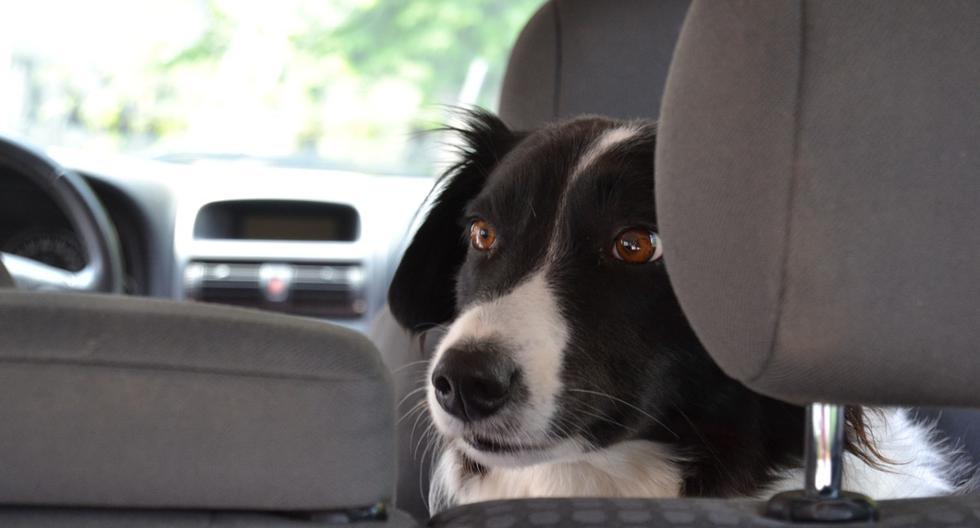 Foto 1 de 3   El perro callejero sorprendió a la pareja al aparecer dentro del automóvil.   Foto: simpleclipsbyclicks en Pixabay. (Desliza hacia la izquierda para ver más fotos)