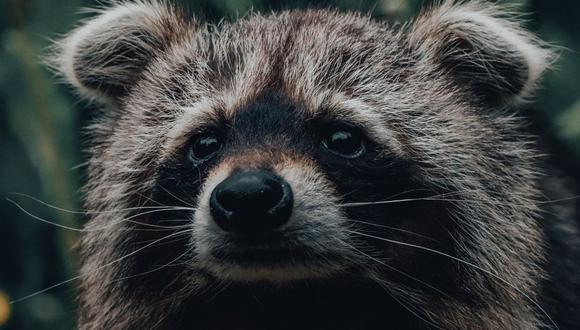 La madre de los mapaches habría entrado al edifico por un ducto de ventilación. (Foto referencial - Pexels)