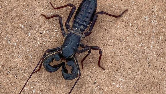 Este animal es un arácnido, parece un escorpión y lanza ácido por su cola. Su aspecto ha conmocionado a las redes sociales (Foto: Facebook)