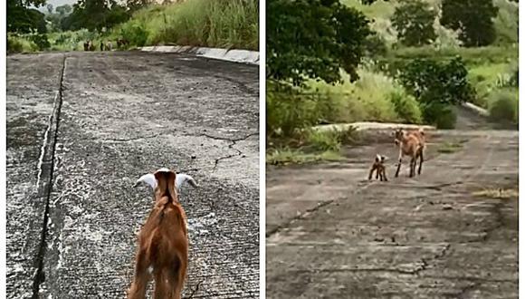 La tierna escena protagonizada por la cría, nombrada Shawarma D.Goat, se convirtió en viral luego de que fuera compartida en distintas redes sociales. (Foto: @kdearceo / Reddit)