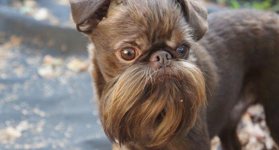 'Nuts' y su bien cuidada barba se hicieron famosos luego que su dueña se percatara toda la atención que atraían cuando salían a pasear. (Foto: petite.griffon.nuts en Instagram)