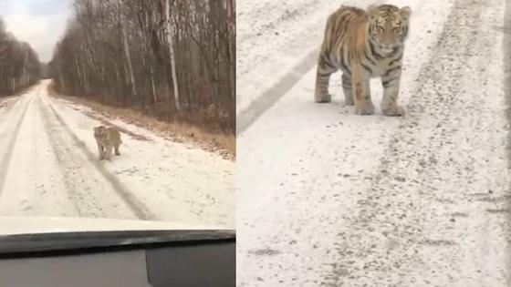 que-estan-haciendo-tigres-cachorros-se-escapan-y-aparecen-de-manera-sorpresiva-cerca-de-una-carretera