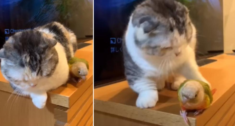 Foto 1 de 3   El gato quería descansar sobre un mueble, pero un loro estaba cerca de él y se lo impedía, por lo que hizo algo impensado.   Foto: ViralHog / YouTube. (Desliza hacia la izquierda para ver más fotos)