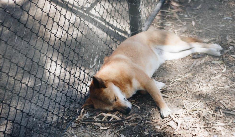 Una prueba de ADN ha confirmado que se trata un dingo 100% puro. (Foto: Referencial/Pixabay)