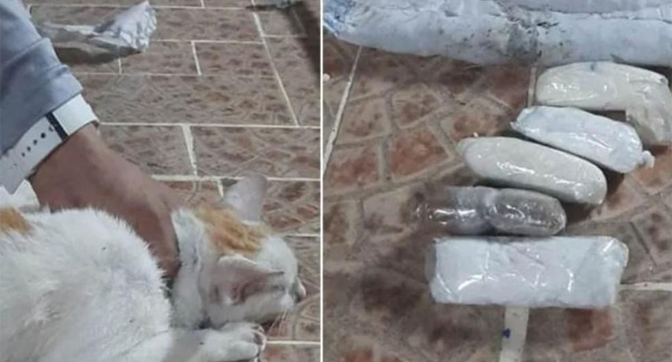 Gato intenta ingresar a una cárcel y es sorprendido con droga envuelta en su cuerpo