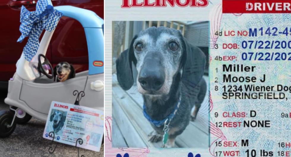 Foto 1 de 3   El perro posó ante la cámara de su propietaria dentro de un carro de juguete y con su 'licencia de conducir' a un lado.   Foto: Allie Miller / Facebook. (Desliza hacia la izquierda para ver más fotos)