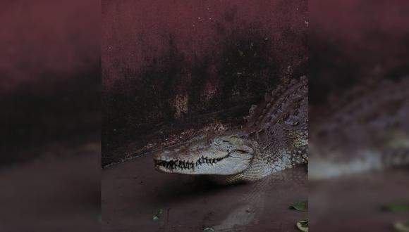 El caimán de 2 metros de largo dejó en shock a Torrie Heathcoat y toda su familia, luego que el reptil invadiera su garaje.  Foto: Pexels