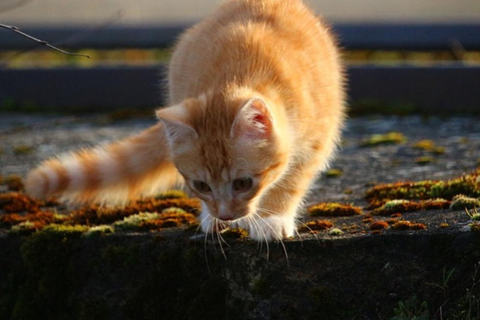 El gato ha impactado bastante en YouTube por su singular comportamiento. (Pixabay)