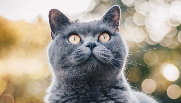 El gato no se escondió ni escapó. Muchos en las redes reconocieron su valor. (Foto referencial - Pexels)