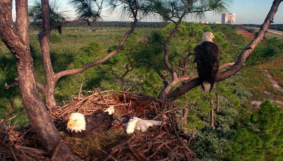Las águilas calvan hacen sus nidos en lo más alto de los árboles. | Foto: Pexels