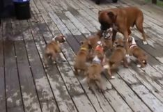 Cachorros confunden a su padre con su madre y escena genera carcajadas en usuarios