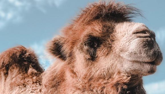 Los camellos y los dromedarios son comúnmente confundidos. El primero tiene dos jorobas, mientras que el segundo solo una. (Foto referencial - Pexels)