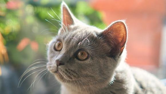 El gato mostró un comportamiento que ha sido considerado como inusual por algunas personas. (Foto referencial - Pixabay)