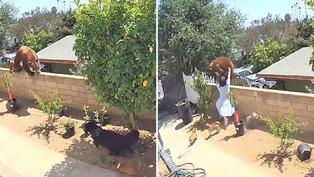 Video viral: Mujer se enfrenta a temible oso para salvar a sus mascotas