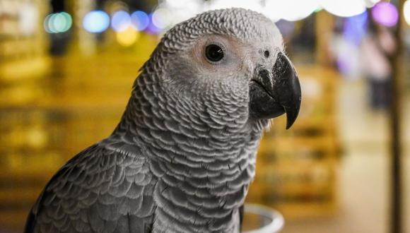 Los loros grises son admirados por su avanzada inteligencia. (Foto referencial - Pexels)