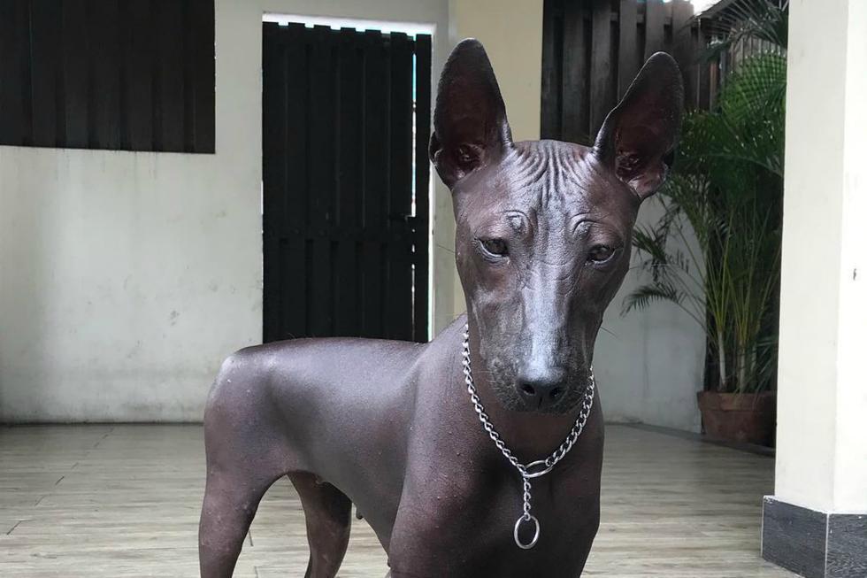 FOTO 1 DE 6 | Foto publicada en Twitter que muestra a un can de piel oscura, sin pelo y con la mirada fija dejó bastantes dudas. ¿Es un perro real o una estatua? | Foto: @pipernriley / Instagram (Desliza a la izquierda para ver más fotos)