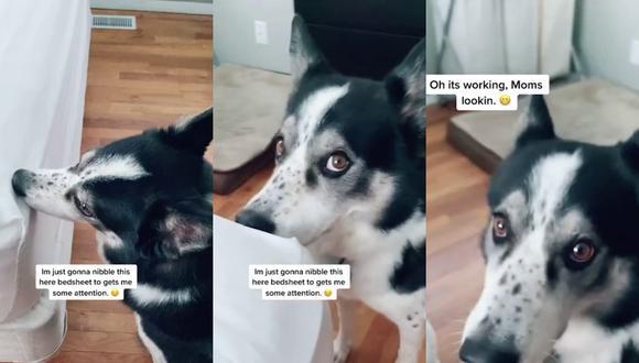 Un video viral tiene como protagonista a un perro y sus adorables intentos para llamar la atención de su dueña.   Crédito: Caters Clips / YouTube