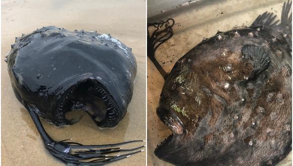 Encuentran pez balón en las costas de California. (Foto: Crystal Cove State Park / Facebook)