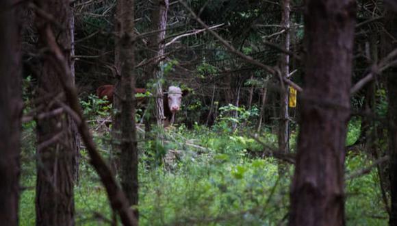 Una vaquita escapó de lo que parecía ser un destino cruel y encontró refugio en una manada de ciervos salvajes. (Foto: farmsanctuary en YouTube)