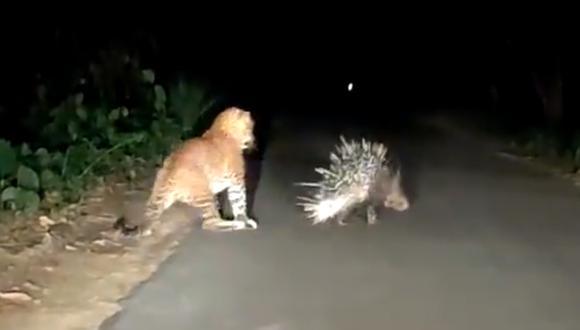 El leopardo quiso devorar al puercoespín, pero este reaccionó de inmediato y lo ahuyentó. (Foto: @rameshpandeyifs / Twitter)
