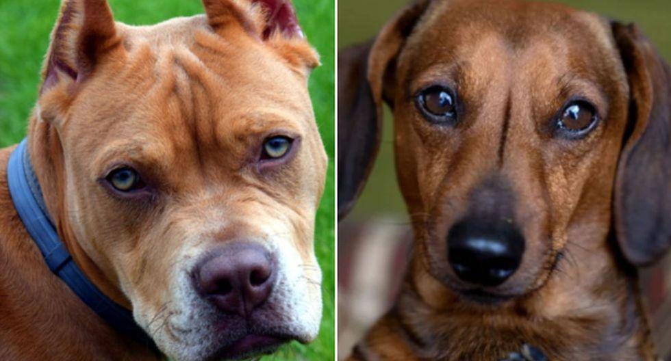 La cría de un pitbull con una perrita salchicha sorprendió a usuarios de Facebook. (Pixabay)