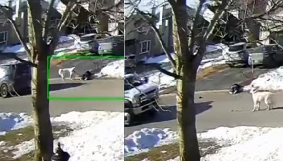 Clover detuvo un vehículo que pasaba por la calle y propició que el conductor bajara a auxiliar a su dueña.   Foto: CTV News