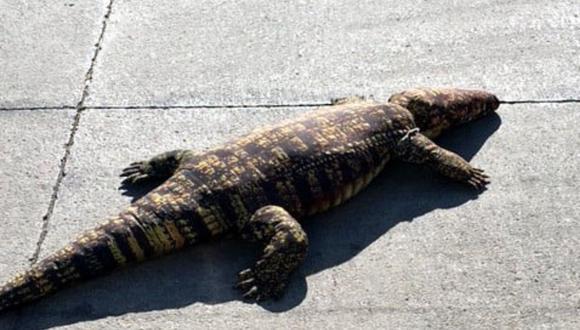 El peluche tenía un metro de longitud, aproximadamente. (Foto: ARL Animal Services| Facebook)
