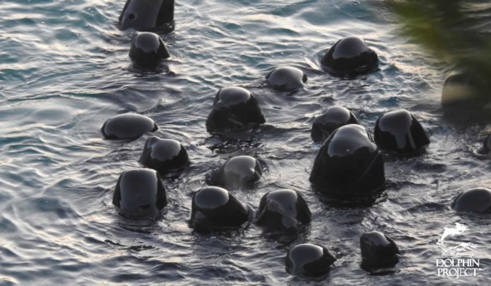 Se volvió viral en YouTube el momento en que un grupo de delfines se consuela mutuamente antes de su sacrificio. (Captura video de YouTube)