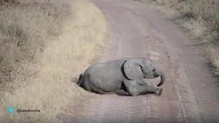 Viral: bebé elefante hace berrinche a su mamá y causa ternura en redes