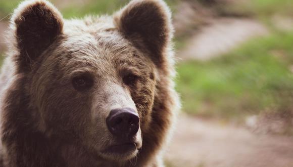 El oso no pudo llevarse algo del domicilio al que había entrado. (Foto referencial - Pexels)