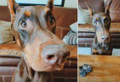 La singular reacción de un perro tras 'perder' un juego con su dueño