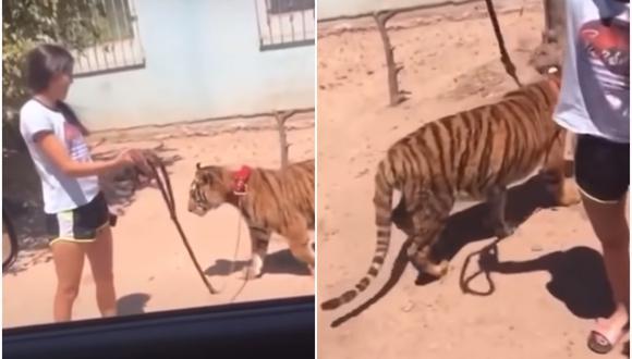 Una chica fue captada paseando a un tigre de bengala con una correa. Ocurrió en el municipio de Guasave, en Sinaloa (México). (Foto: Arturo López Canelo / YouTube)