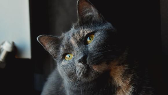 La gata se ganó la admiración de cientos de usuarios en las redes sociales. (Foto referencial - Pexels)