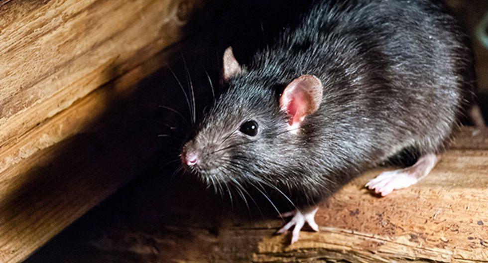 El hantavirus es una enfermedad viral transmitida por las heces y orina de las ratas y roedores. | Foto: Pixabay/Referencial