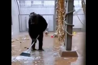 Viral: chimpancé encuentra una escoba y barre su jaula