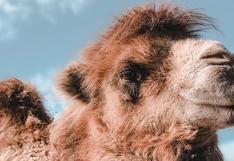 El momento en que un camello usa toda su fuerza para remolcar un vehículo