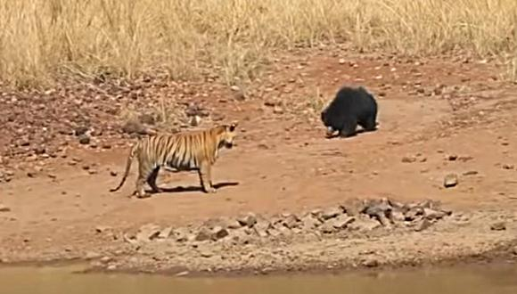 Así es la feroz pelea entre un tigre y un oso. El combate sorprendió en redes sociales por su desenlace. (Foto: Media Drum World TV / YouTube)