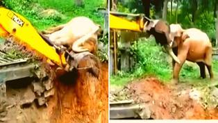 Video viral: Elefante es rescatado con pala mecánica