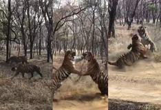 ¡Choque de titanes! El video viral de la brutal pelea entre dos tigres en la India