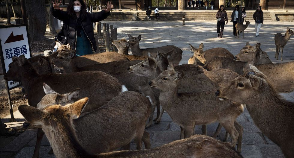 Ciervos en Nara, Japan. (AP Photo/Jae C. Hong)