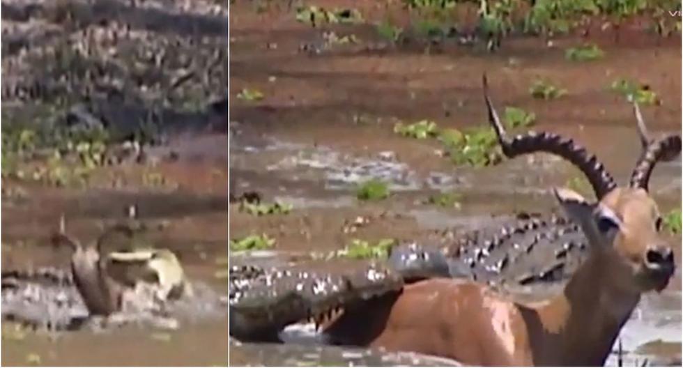 Impala escapó de la boca de 2 cocodrilos tras hundirse en el fango. (Foto: Captura/YouTube)