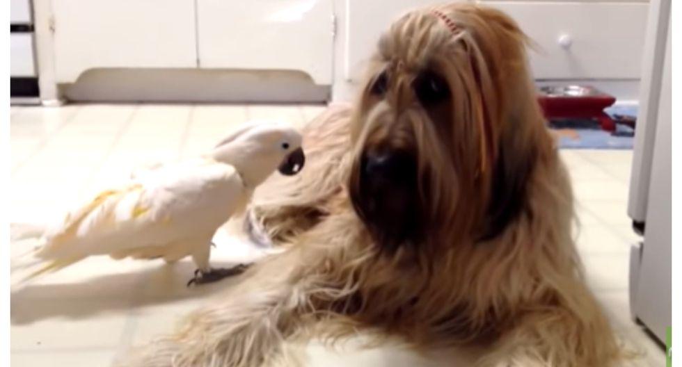 La capacidad de la cacatúa para imitar el ladrido del perro es sorprendente. (Foto: YouTube de Rumble Viral)