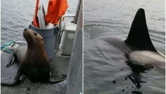 Video viral: un lobo marino 'invade' un bote para salvarse del ataque de unas orcas. (Foto: @castrowas95 / Twitter)