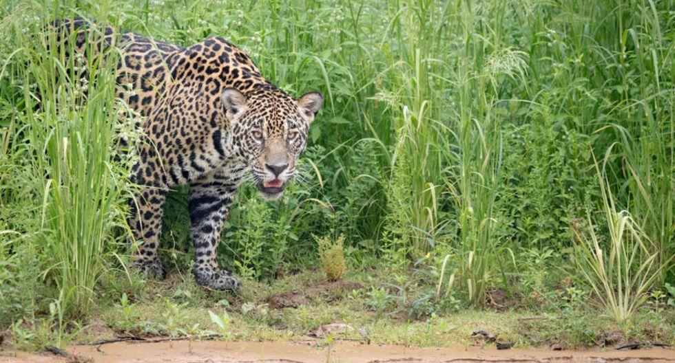 En las últimas dos décadas las poblaciones de jaguares se han reducido hasta en un 25 por ciento. (Foto: Richard Barrett / WWF UK)