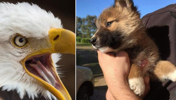 En un comienzo se creyó que un águila había dejado caer a un perro, pero luego se descubrió que era una especie en peligro de extinción. (Foto: R Winkelmann en Pixabay / wandi_dingo en Instagram)